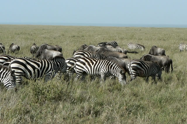 Serengeti National Park - zebras