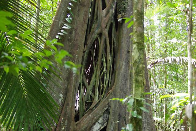 Bois cathédrale (Chimarrhis turbinata, Rubiaceae). Sentier de la Roche Bateau, Saül, 14 novembre 2012. Photo : J.-M. Gayman