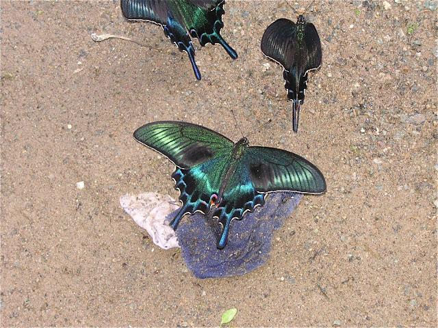 Papilio maackii MÉNÉTRIÈS, 1859. 6 km au sud d'Anisimovka, 20 juillet 2010. Photo : J. Michel