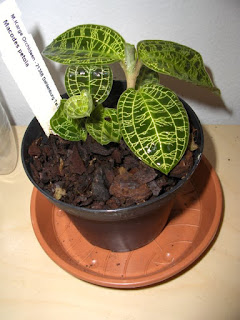 Macodes Petola, jewel orchid species, plant in pot with bark and sphagnum moss, just after purchasing