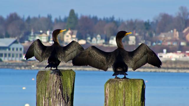 Two cormorants posing at Boulevard Park / Credit: Lou Nicksic