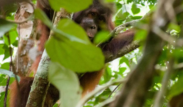IUCN Red List assessments reveal that growing human pressures on Bornean orangutans are putting this species at an increasing risk of extinction. Bornean orangutans are now listed as Critically Endangered – only one step from going extinct. Photo: Mike Prince
