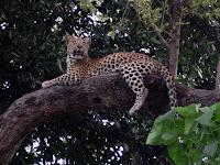 Leopard - Okavango Delta