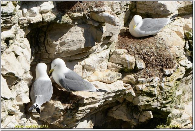 Bempton Cliffs RSPB - April
