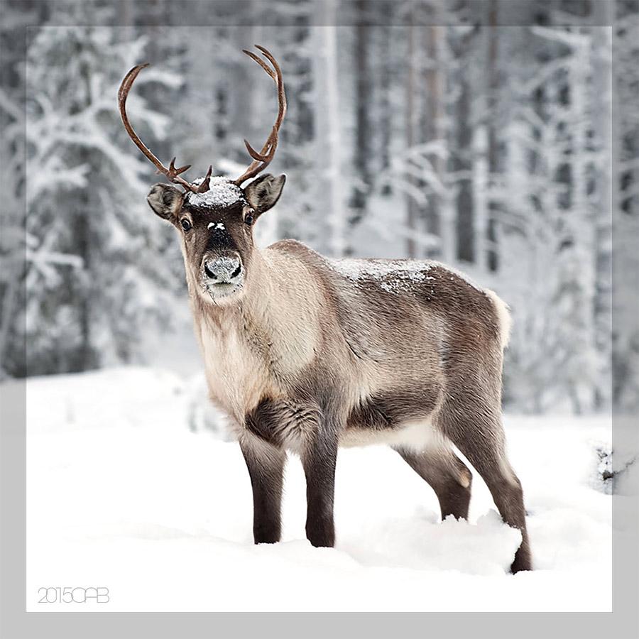 Testclod le renne appel aussi caribou for Dans html