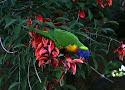 rainbow lori.jpg