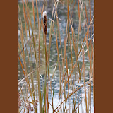 cattail_MG_2132-copy.jpg