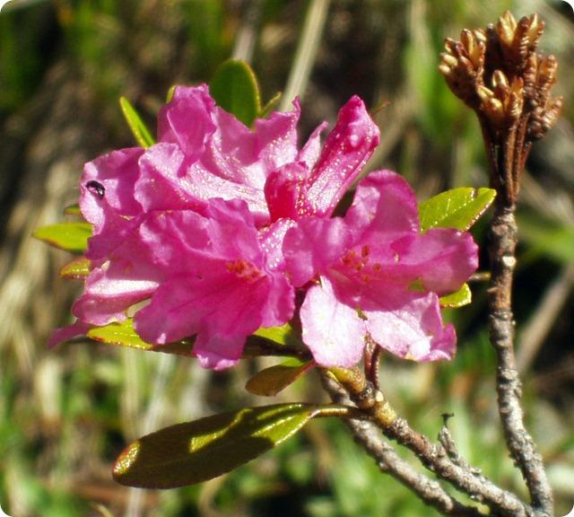 flora-alpina-Rhododendron_ferrugineum
