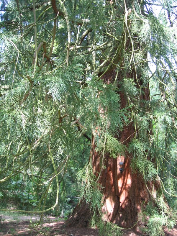 sequoia, wakehurst place