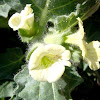 White Henbane. Beleño blanco