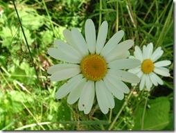 margaritas flores (46)