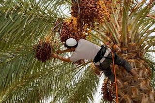 Phoeniculture au Sud: plus de 85 millions DA pour la lutte contre les maladies du palmier