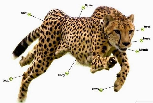 cheetah diagram room one cheetahs information report  room one cheetahs information report