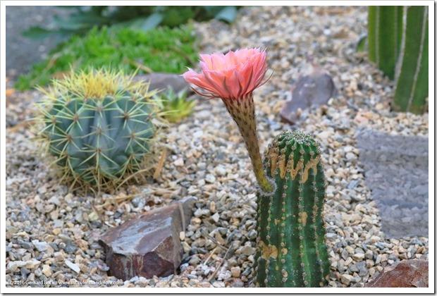 160530_echinopsis_flower_005