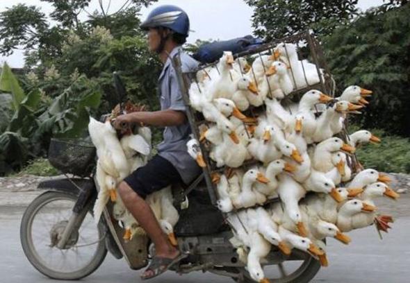 ciclomotor transportando muchos patos