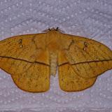 Hemileucinae : Lonomia concordia concordia Druce, 1886, mâle. Mount Totumas, 1900 m (Chiriqui, Panamá), 20 octobre 2014. Photo : J.-M. Gayman