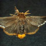 Notodontidae : Epicoma contristis HÜBNER, 1823. Umina Beach (N. S. W.), 22 novembre 2011. Photo : Barbara Kedzierski