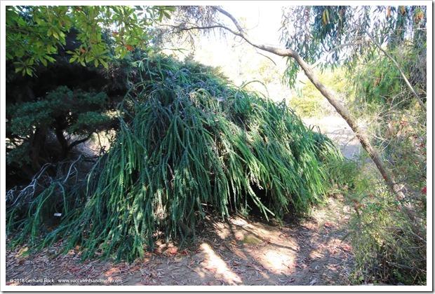160813_UCSC_Arboretum_Acacia-pravissima-Golden-Carpet_003