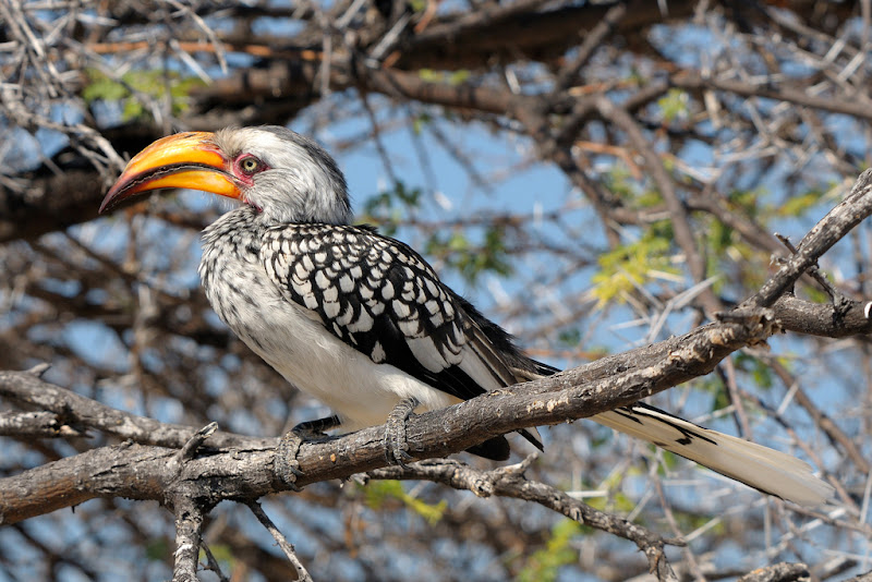 Etosha-Yellow Billed Hornbill