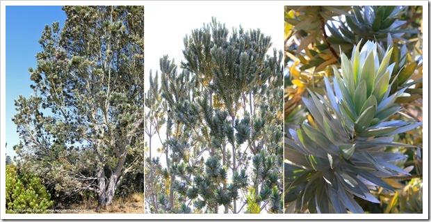 160813_UCSC_Arboretum_Leucadendron-argenteum_010