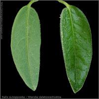 Salix subopposita leaf - Wierzba dalekowschodnia liść od spodu i z wierzchu