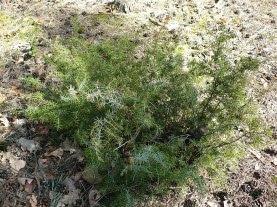 Jałowiec pospolity Juniperus communis