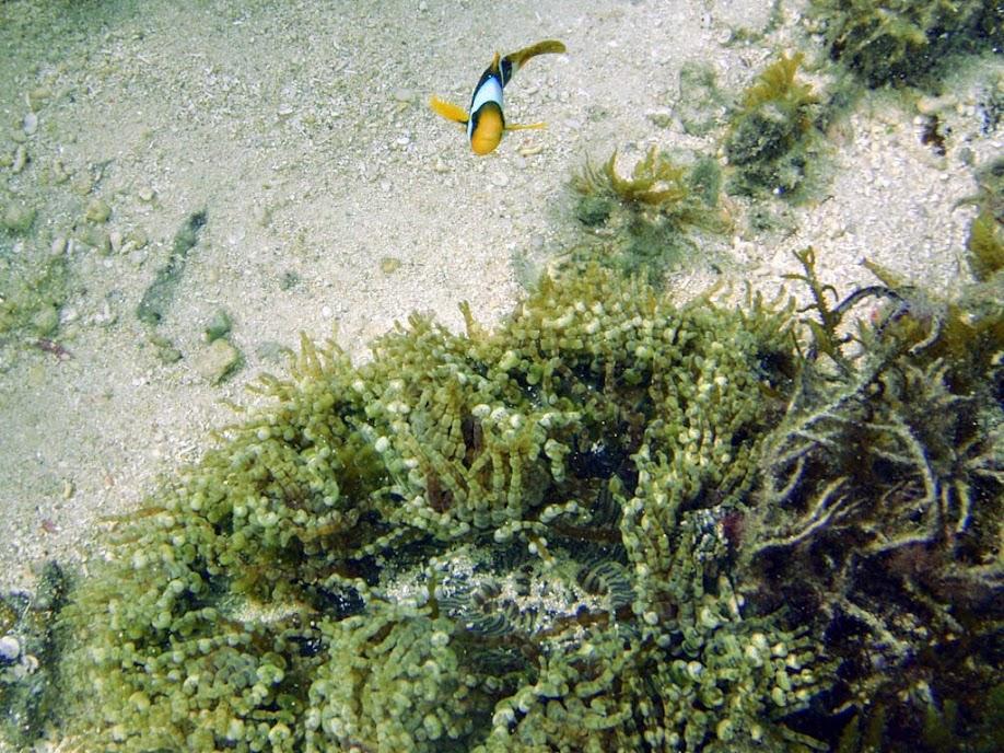 Amphiprion chrysopterus (Orangefin Clownfish) with Heteractis aurora (Beaded Anemone), Naigani Island, Fiji.