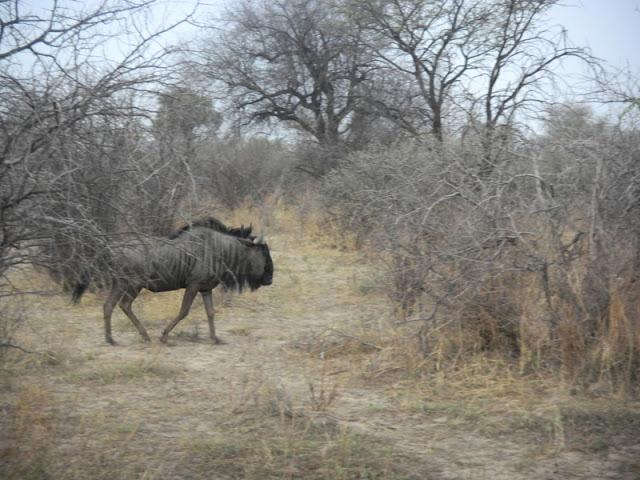 Wildebeast at the Khama Rhino Sanctuary