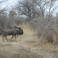 Wildebeast at the Khama Rhino Sanctuary