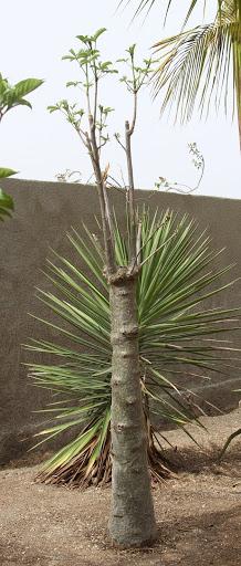Adansonia digitata - baobab africain IMG_1022