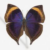 Junonia cymodoce lugens (SCHULTZE, 1912), mâle. Ebogo, avril 2013. Coll. et photo : C. Basset