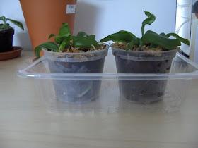 Phalaenopsis Kuntrarti rarashati x Lindenii, Seedlings  in pots with bark and sphagnum-moss