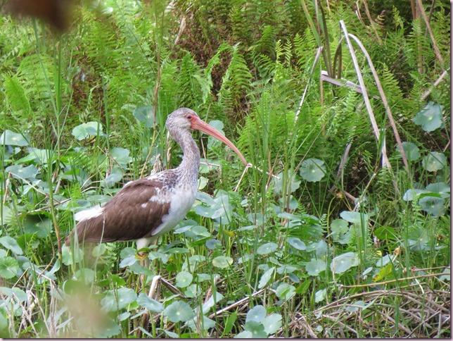 ibisjuvenileIMG_1106