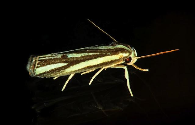 Xyloryctidae : Xylorycta austera T.P. LUCAS, 1898. Umina Beach (N. S. W., Australie), 21 novembre 2011. Photo : Barbara Kedzierski