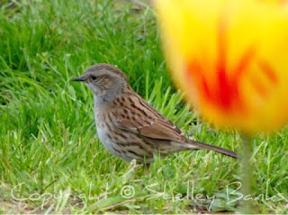 Dunnock. Paris. Copyright  © Shelley Banks, all rights reserved.