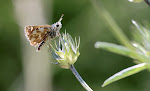Spialia sertorius3.jpg