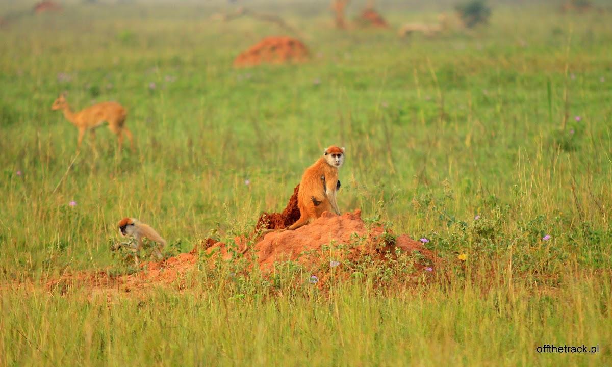 Małpa patas na sawannie, park narodowy Murchison Falls, Uganda