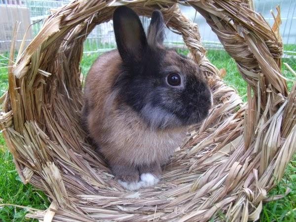 [adoptée]-Nala, lapine noire et marron, avec le bout du nez blanc Nala8-fdd31