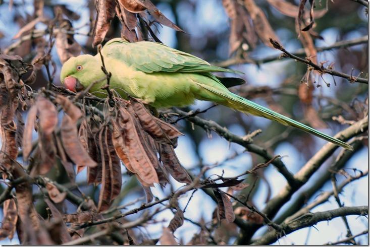 paris parrot in le jardin des plantes 11815 00000