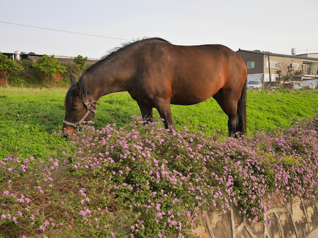 horse eating some greenery near some flowers in Kinmen