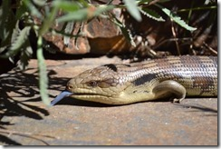 Blue-tongue lizard heading back to steps