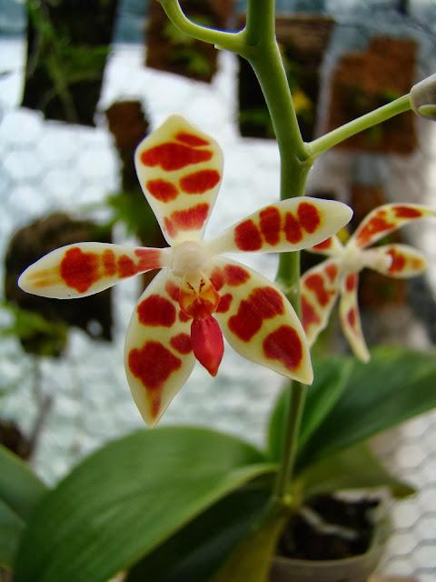 Phalaenopsis maculata n°2 DSC00049