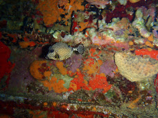 Spotted Trunk Fish, maybe