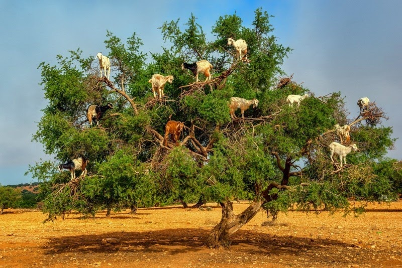 goats-argan-trees-7