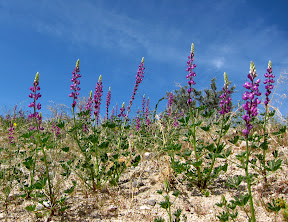 Arizona Lupine near Carrizo Badlands overlook - southern Anza Borrego