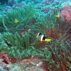 20060402-12 duik 3 anemoon met clownsvissen.JPG