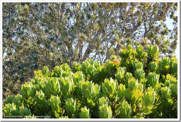 160813_UCSC_Arboretum_075