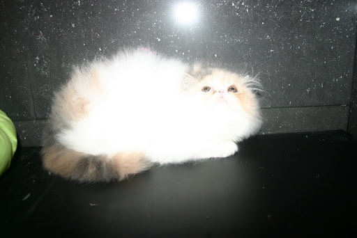 available persian