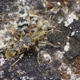 Lepturinae : Rhagium sycophanta (SCHRANK, 1781). Plateau de Coupon (511 m). Viens (Vaucluse), 10 mai 2014. Photo : J.-M. Gayman