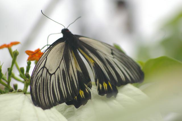 Troides amphrysus flavicollis DRUCE, 1873, femelle. Moyog, Crocker Range (Sabah, Malaisie, Bornéo), 18 août 2011. Photo : J.-M. Gayman